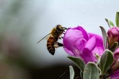 Honigbiene mit dem Blütenstaub auf den Beinen, die auf weiser Blume landen lizenzfreies stockfoto