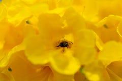 Honigbiene mit gelben Blumen stockbild