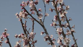 Honigbiene säugt Nektar von der Aprikosenblüte stock footage