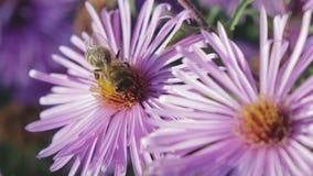 Honigbiene sammelt Nektar auf der Blume stock footage