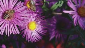 Honigbiene sammelt Nektar auf der Blume stock video footage