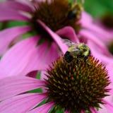 Honigbiene und Coneflower-Detail Lizenzfreie Stockfotos