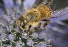 Honigbiene und eine Blume Stockfoto