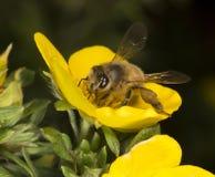 Honigbiene und eine Blume Lizenzfreies Stockfoto