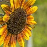 Honigbiene und schwarze Mücke, die über Sonnenblume schweben stockbilder