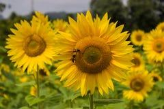 Honigbiene und Sonnenblume Lizenzfreie Stockfotografie