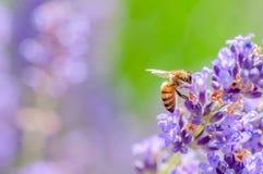Honigbiene, welche die Lavendelblumen besucht und nahe hohe Bestäubung des Blütenstaubs sammelt Stockfotografie