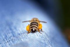 Honigbiene Whitabstimmungen lizenzfreie stockbilder