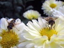 Honigbienen Lizenzfreie Stockbilder