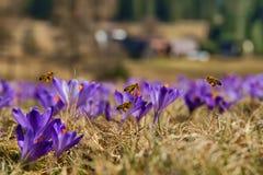 Honigbienen-API mellifera, Bienen, die im Frühjahr über die Krokusse fliegen Stockbild