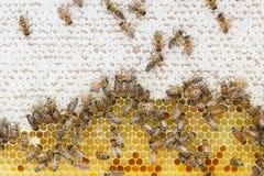 Honigbienen auf Bienenwabe Lizenzfreie Stockfotos