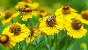 Honigbienen auf gelben Blumen Bienen, die einen Nektar sammeln lizenzfreie stockfotos