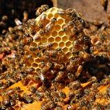 Honigbienen auf Kamm Stockfoto