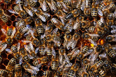 Honigbienen auf Wabe. Honey bees on honeycomb in plan view Royalty Free Stock Photos
