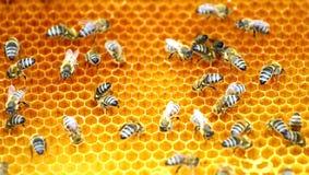 Honigbienen in der Bienenwabe Lizenzfreies Stockfoto