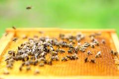 Honigbienen in der Bienenwabe Lizenzfreies Stockbild