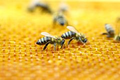 Honigbienen in der Bienenwabe Stockbilder