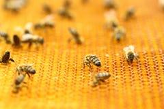 Honigbienen in der Bienenwabe Stockfoto
