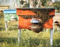 Honigbienen, die um ihren Bienenstock schwärmen und fliegen Stockfotografie