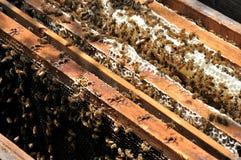Honig-Bienen lizenzfreie stockfotos