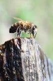 Honigbienen-Getränkwasser Stockbild