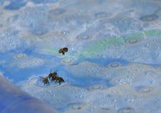 Honigbienen Stockbild