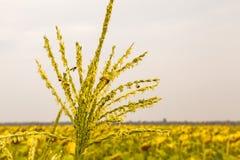 Honigbienenarbeitskraft, die Blütenstaub von der Blume von Mais sammelt stockbild
