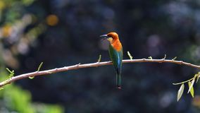 Honigbienenesservogel im tropischen Wald Lizenzfreie Stockfotografie