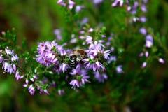 Honigbienenfütterung auf einer purpurroten Blume Stockfotografie