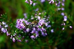 Honigbienenfütterung auf einer purpurroten Blume Lizenzfreies Stockbild