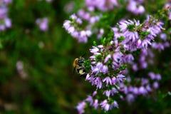 Honigbienenfütterung auf einer purpurroten Blume Lizenzfreie Stockfotos