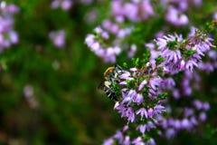 Honigbienenfütterung auf einer purpurroten Blume Lizenzfreie Stockbilder