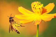 Honigbienenmakro stockfoto