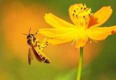 Honigbienenmakro stockbilder