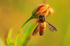 Honigbienenmakro lizenzfreie stockfotografie