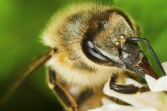 Honigbienenmakro Stockbild