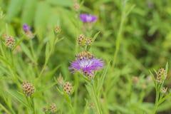Honigbienennahaufnahme Lizenzfreie Stockbilder
