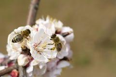 Honigbienenproblem stockbild