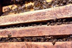 Honigbienenschwarm Stockfoto