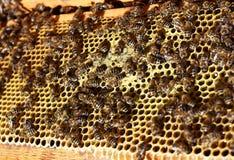 Honigbienenschwarm Lizenzfreies Stockfoto