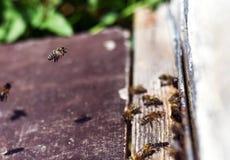 Honigbienenschwarm Stockfotografie