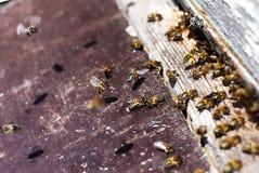 Honigbienenschwarm Lizenzfreie Stockfotografie