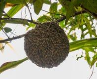 Honigbienenschwarm, der am Guavenbaum in der Natur nachdem dem Rainning hängt Lizenzfreies Stockfoto