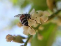 Honigbienenstichseite Stockfotografie