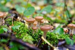 Honigblätterpilzpilz im Wald Lizenzfreies Stockbild