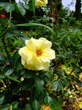 Honigmond Rose Royalty Free Stock Photos
