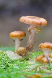 Honigpilz Stockfoto