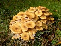 Honigpilz (Armillaria mellea) Stockfoto