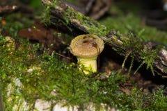 Honigpilz auf einem Stumpf Lizenzfreies Stockfoto