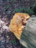 Honigpilz auf gefälltem Baum Lizenzfreie Stockbilder